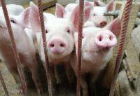 Chaco firmó el primer acuerdo con China para avanzar con la instalación de mega granjas porcinas