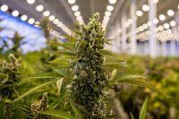Proponen la creación de un Cultivo Municipal de Cannabis en Salta