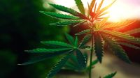 Plantaron marihuana en la plaza 9 de Julio
