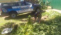 La Policía Federal detectó una exorbitante plantación de marihuana en dónde menos se esperaba