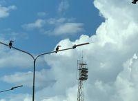  HAY FOTOS  Una bandada de tucanes coparon gran parte de la ciudad de Salta