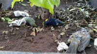 |IMÁGENES DE TERROR| ¿Mal presagio? Revelan por qué aparecían pájaros muertos en la Plaza 9 de Julio